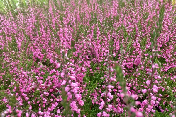 calluna-vulgaris-red-favorit9C67D260-96F1-99A9-1940-2B91B4146F83.jpg