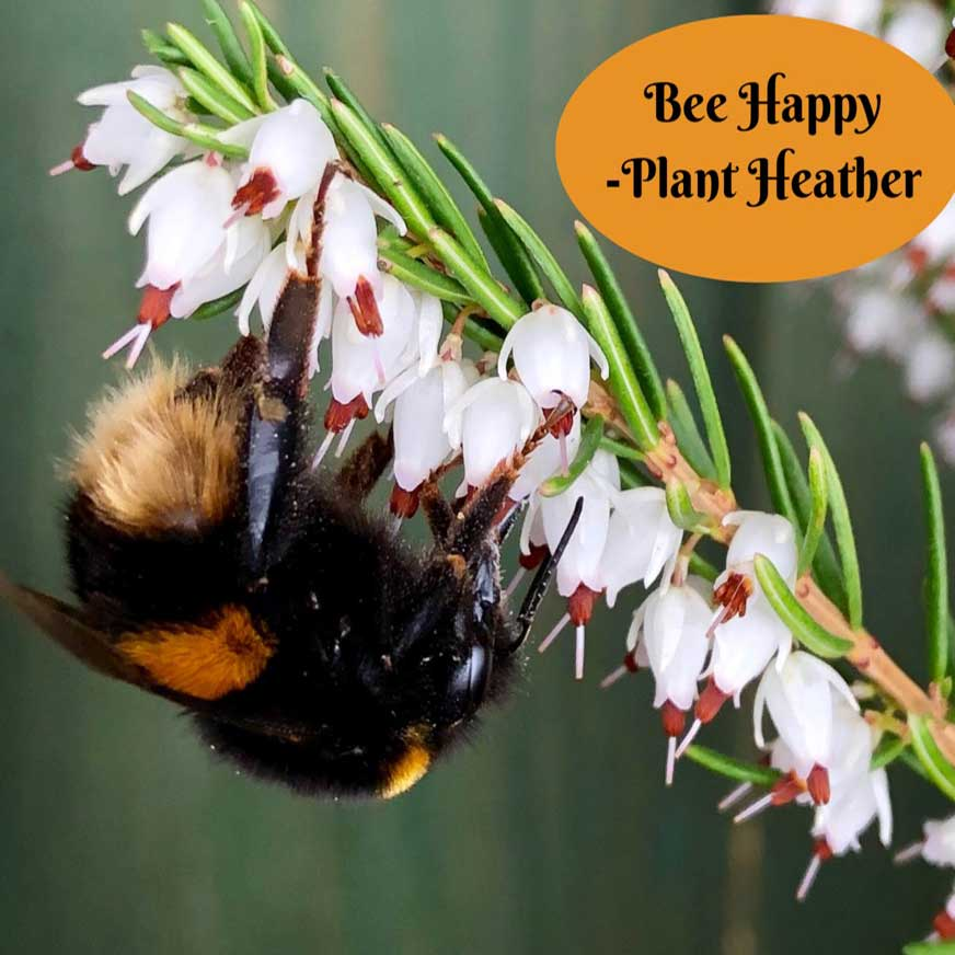 BeeHappy-plantHeather.jpg